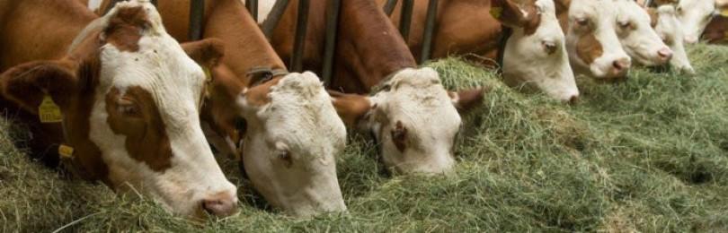 Как сделать кормушку для коров самому?
