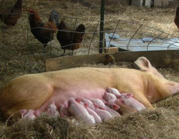 Роды у свиней