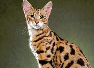 Порода кошек саванна (ашера)