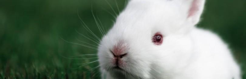 Кролик альбинос