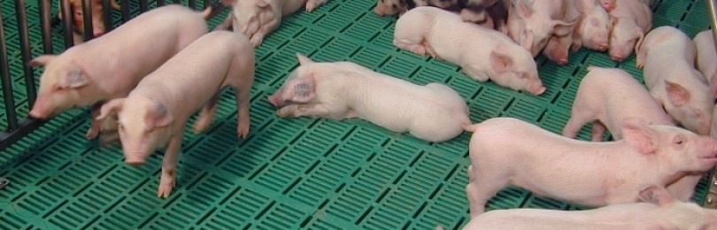 Технология укладки и разновидности полов в свинарнике