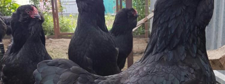 Породы бородатых кур