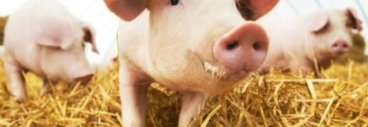 Как выращивать поросят на мясо?