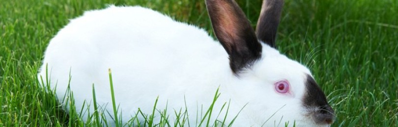 Калифорнийский кролик — описание породы, продуктивность
