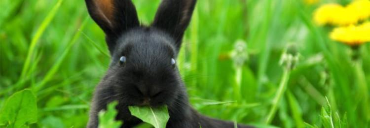 Можно ли кормить кроликов подорожником?