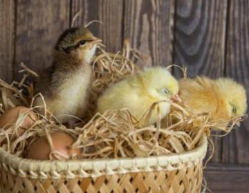 Сколько дней курица сидит на яйцах до цыпленка?