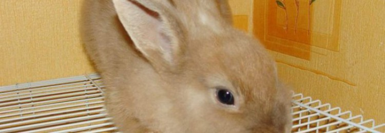 Кролик белка: описание породы