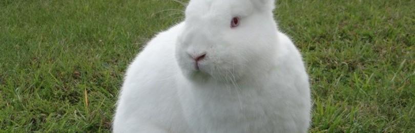 Кролики бройлеры