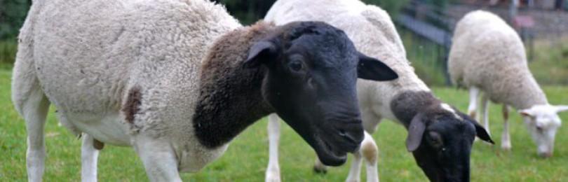 Продолжительность жизни овец