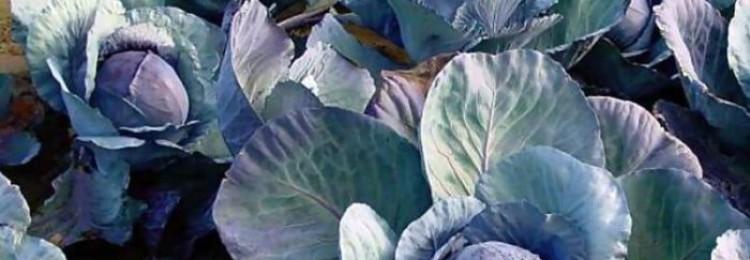 Почему у капусты фиолетовые листья?