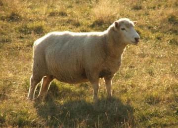 Порода овец Сараджинская