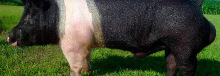 Лучшие породы свиней в России