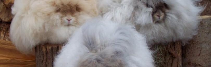 Самые популярные крупные породы кроликов