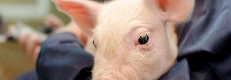 Дизентерия свиней