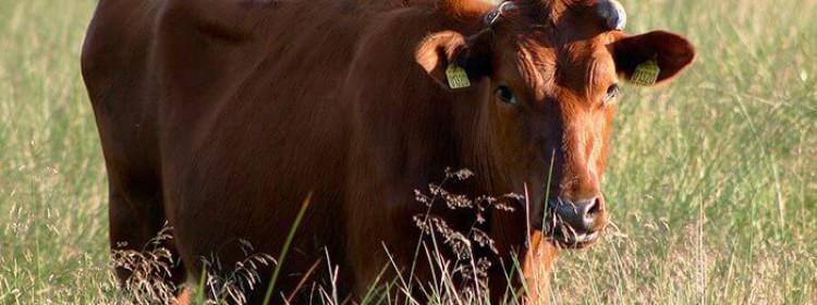 Красная датская порода коров