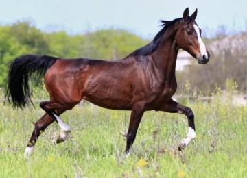 Самые выносливые лошади