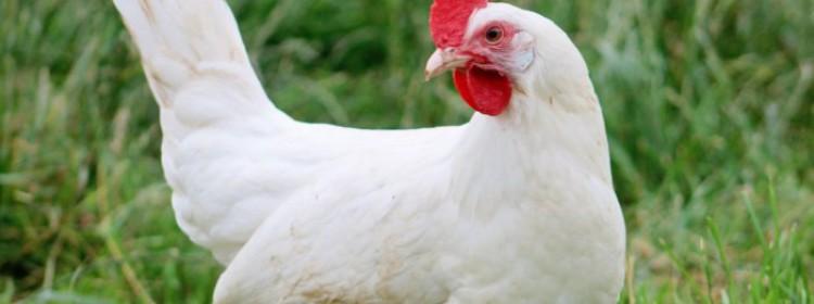 Породы белых кур