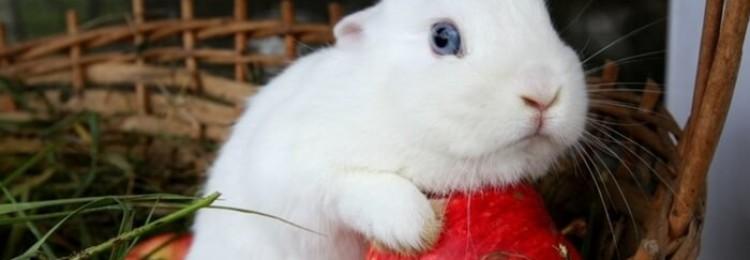 Кролик Гермелин — стандарты породы, уход, кормление, разведение