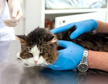 Симптомы и лечение чумки у кошек
