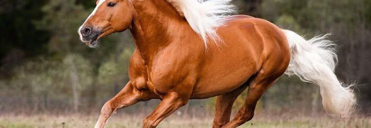 Лошади породы хафлингер: происхождение, особенности экстерьера, использование