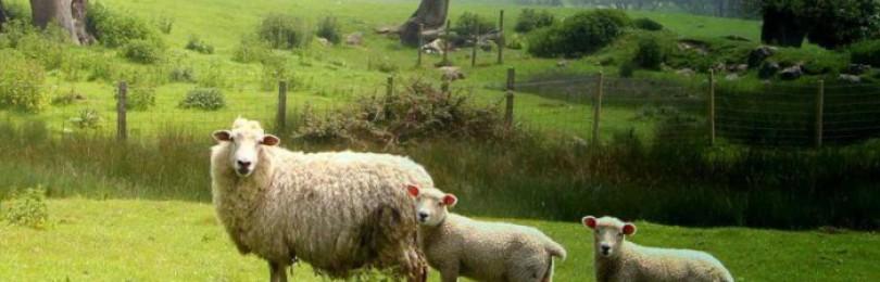 Овцы породы Ромни-марш