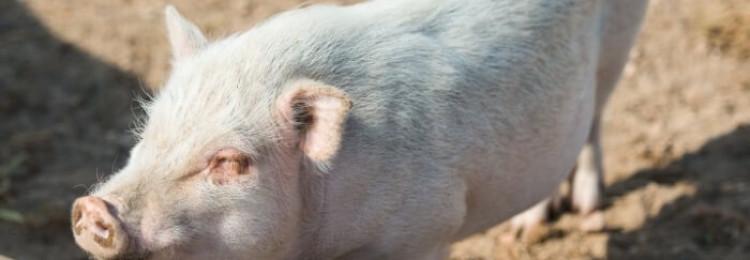 Кашель у поросят и свиней