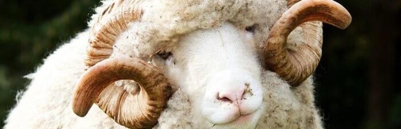 Меринос — самая распространенная порода овец в Австралии