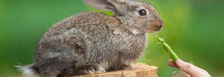 Можно ли кроликам горох, стручки и ботву?