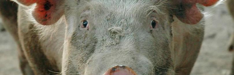 Илеит свиней