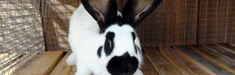 Кролик строкач: особенности породы