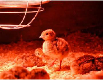 Как вырастить цыплят в домашних условиях?