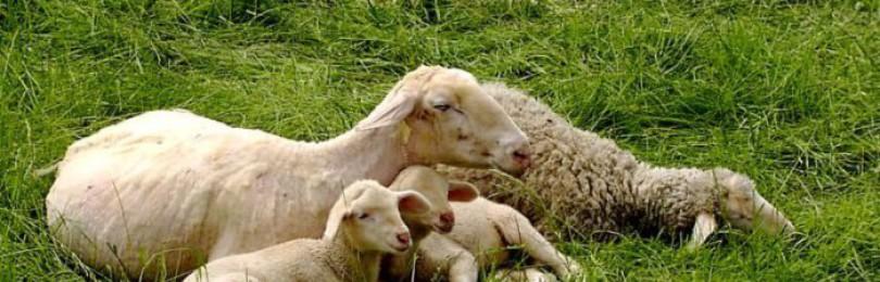 Содержание овец и их разведение