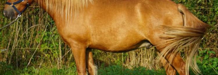 Эстонская порода лошадей