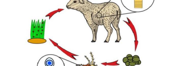 Мониезиоз овец