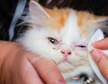 Почему у котенка гноятся глаза и как лечить воспаление