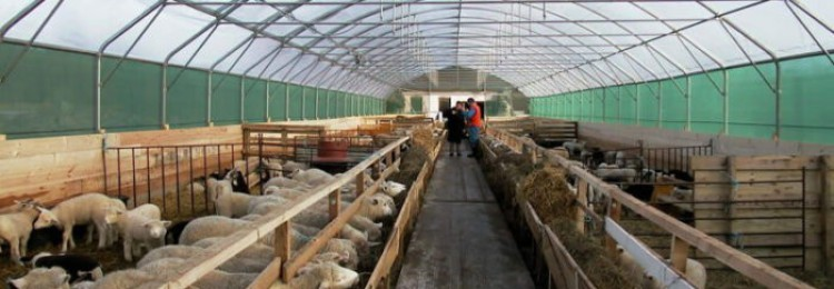 Стойловое содержание овец