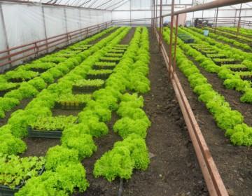 Выращивание пекинской капусты в теплице