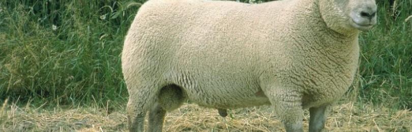 Вандейские овцы