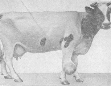 Лечение бурсита у коров