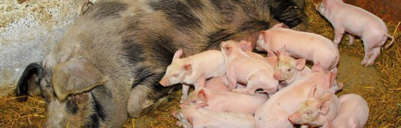 Как определить беременность свиньи в домашних условиях?
