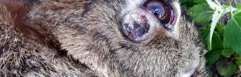 Чем лечить шишки (миксоматоз) у кроликов?