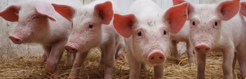 Правильно содержание поросят и свиней