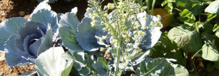 Как получить семена капусты в домашних условиях?