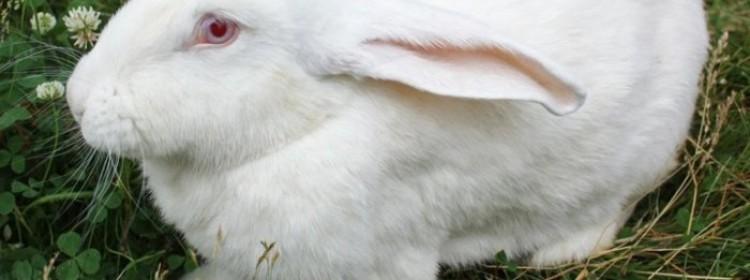 Лучшие кролики мясных пород
