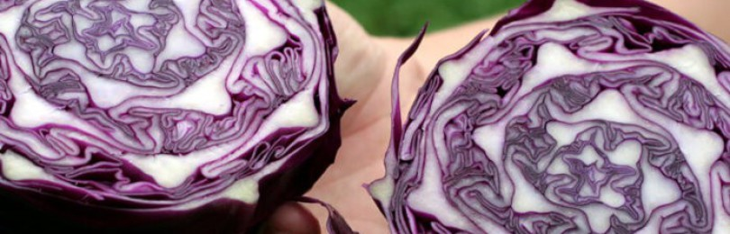 Описание сортов краснокочанной капусты