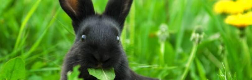 Как давать кроликам лопухи?