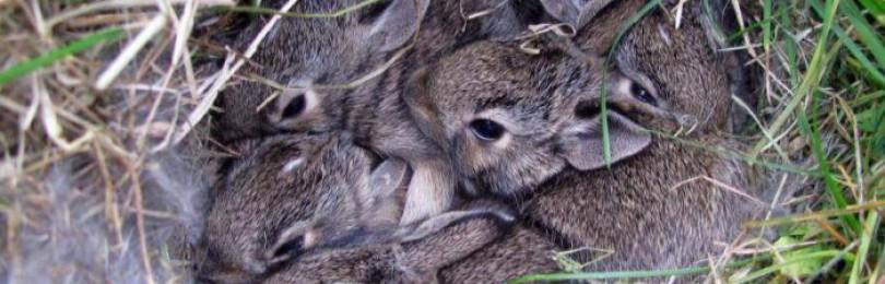 Через сколько дней крольчата выходят из гнезда?