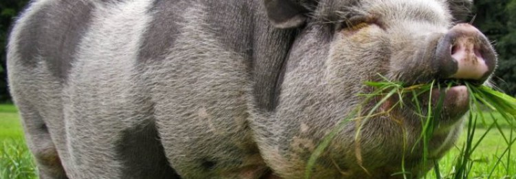 Какими бывают травоядные свиньи?