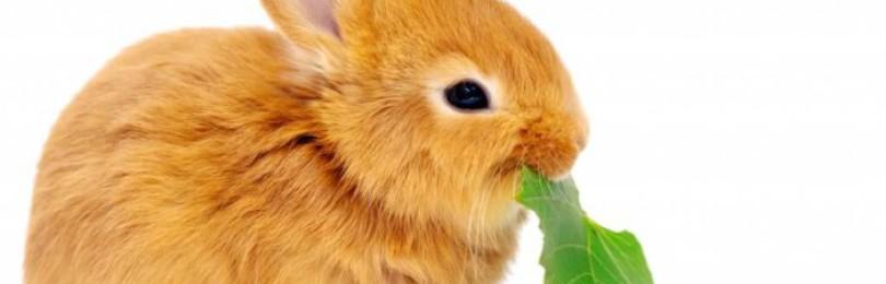 Чем можно кормить декоративных кроликов, а чем нельзя?