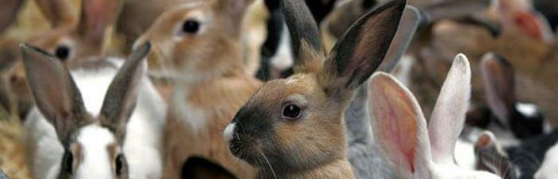 Как правильно выращивать кроликов в домашних условиях?